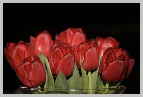 Tulips Netherlands Spring Tulip Keukenhof Bulbs