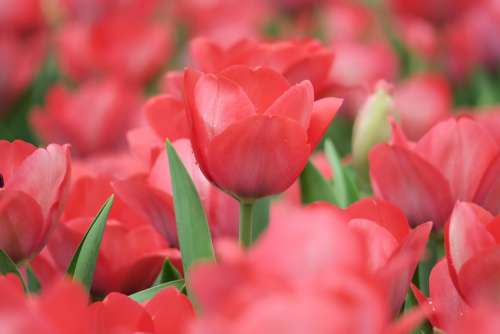 Tulips Flower The Ball Flowers Natural Petal