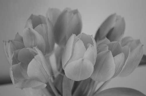 Tulips Flowers Spring Black White