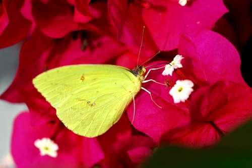 Veranera Butterfly Flower Nature Yellow Flowers