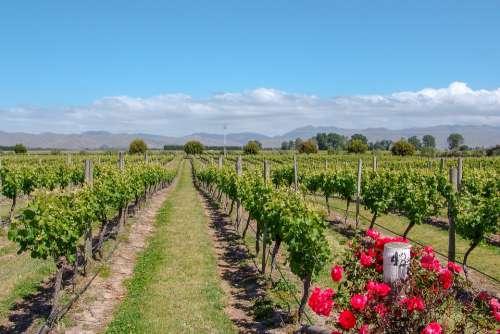 Vineyard Australia Rose Wine Viticulture Country