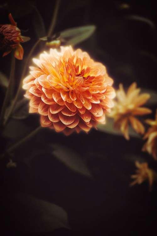 Wallpaper Background Dahlia Flower Nature Plant