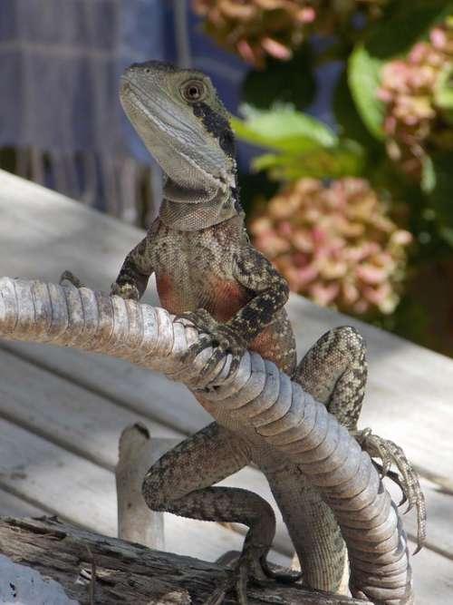 Water Dragon Australia Lizard Reptile
