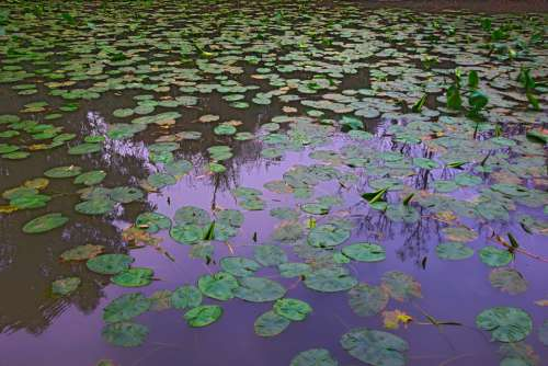Water Lilies Springtime Outdoor Pond Tranquil