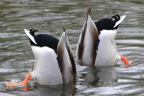 Waterfowl Drake Water Plumage Mallard Animal World