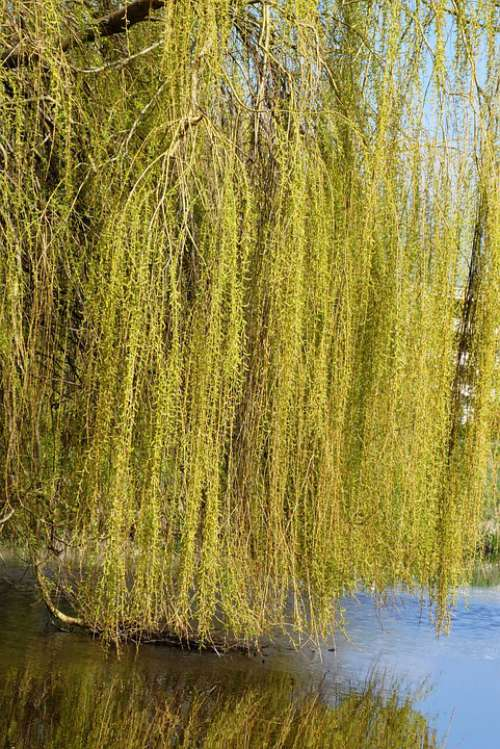 Weeping Willow Branches Branch Nature Ditch