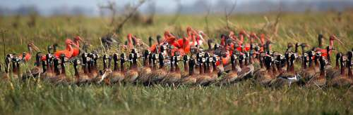 Whistling Ducks Widowers Ibis Red Ibis White Birds