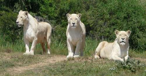 White Lion Lion White Predator Nature Big Cat