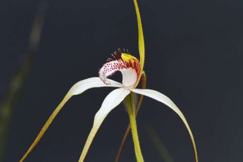 White Spider Orchid Orchids Western Australia
