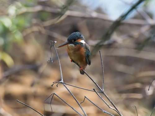 Wild Wildlife Bird Common Kingfisher Perched