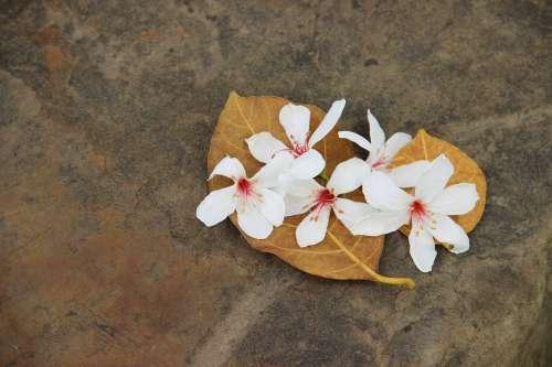 Wu Yuexue Tung Flowers White Flower Aegiceras