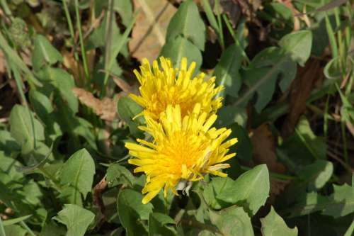 Yellow Flower Dandelion Flower Spring Flora