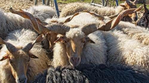 Zackelschaf Sheep Hungary Horns Rotated Horn