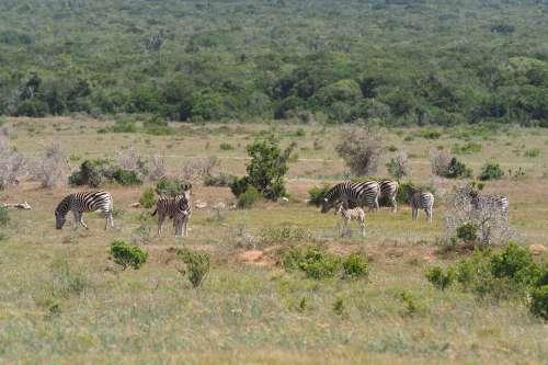 Zebras Flock National Park Black And White Drawing