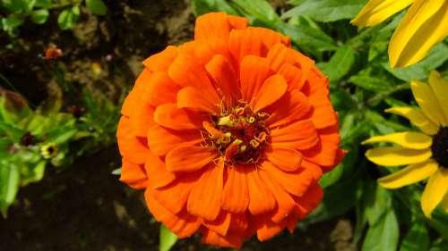 Zinnia Flower Garden Summer Nature Flora Macro