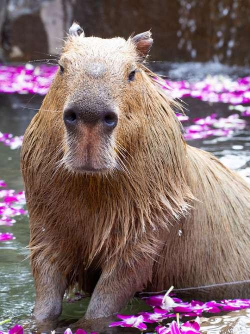 Zoo Capybara Animal Mammals My Natural Cute