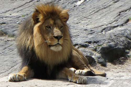 seated male lion