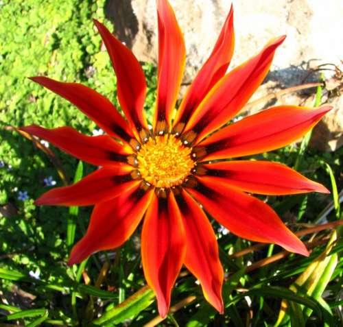 red daisylike flower
