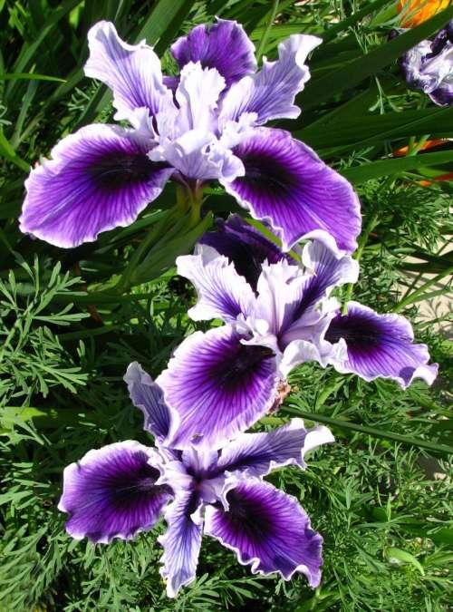purple and white dwarf iris