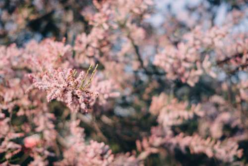 Redbud tree blossom 5