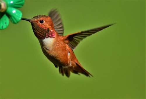 Rufous hummingbird bird hummingbird