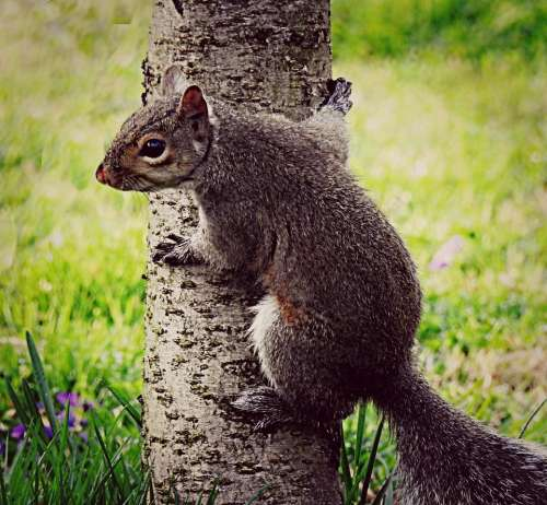grey squirrel rodent