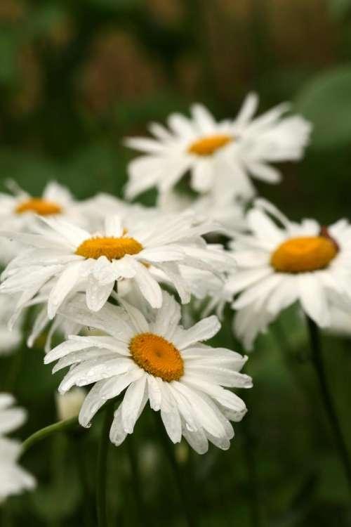 daisies  daisy summer floral  flower