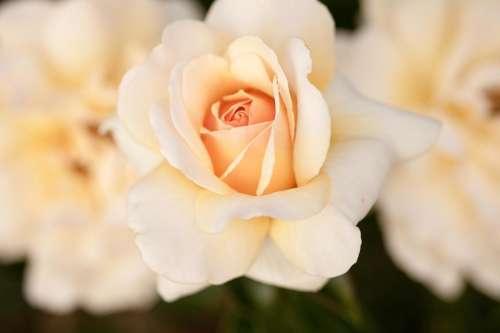 rose roses white rose beauty  petals