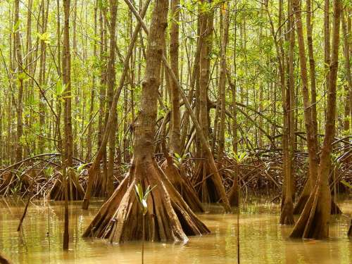 mangrove tree trees water forest
