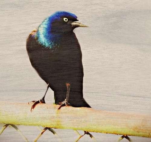 starling blackbird male bird wild