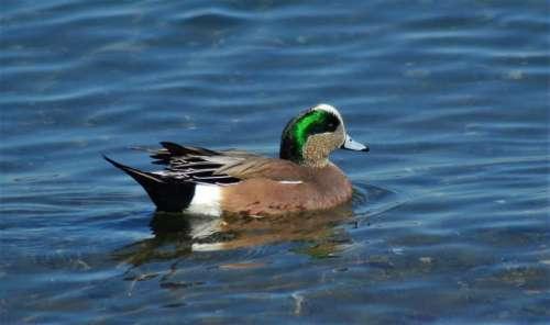 widgeon bird duck