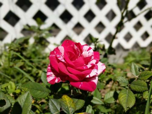 rose bicolor plant grow