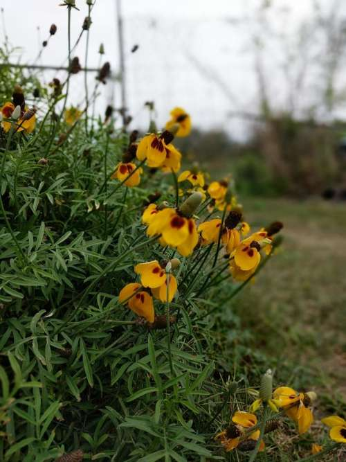 Mexican hats flowers flower yellow #flower-cluster