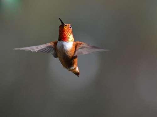 rufous hummingbird hummingbird bird flight nature