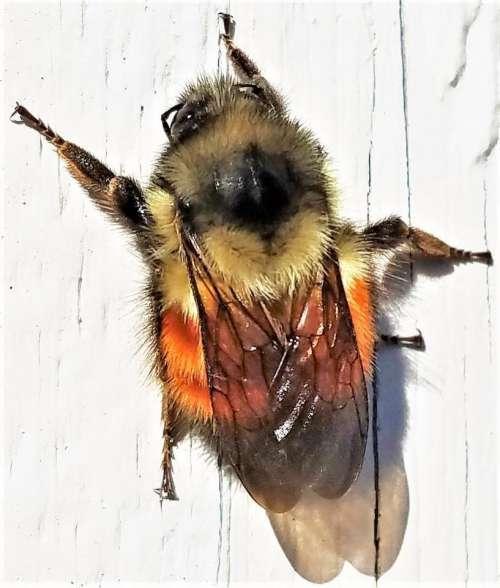 bumblebee bee insect pollinator