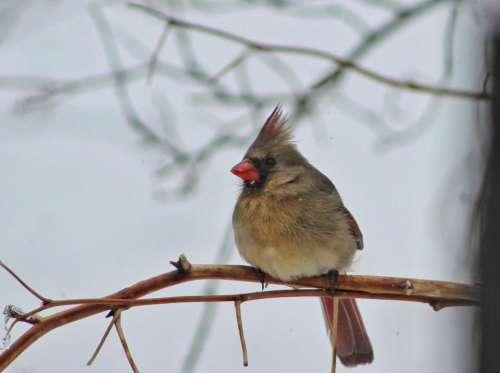 nature wildlife winter birds cardinals