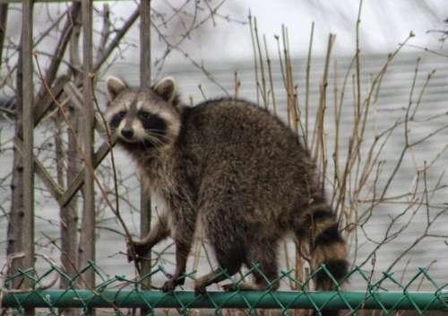 animals nature raccoons suburbs suburbia