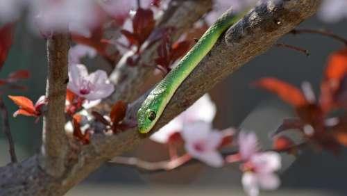 old green snake opheodrys aestivus
