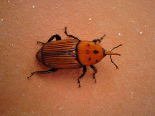 Red palm weevil pest Portugal terracotta orange