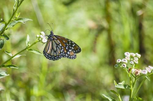 monarch butterfly over fruit flower free image