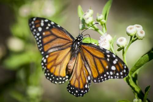 close-up of monarch butterfly free image
