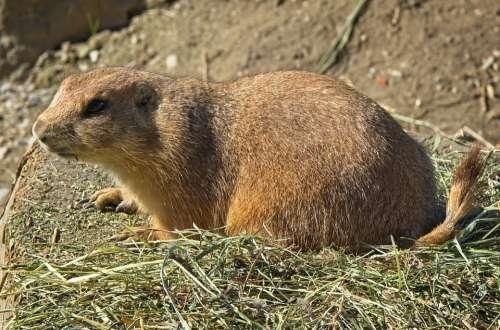 Alpine Marmot Marmot Gophers Rodent Marmota Mammal