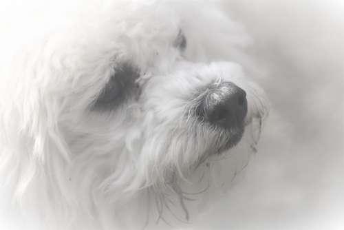 Animal Portrait Dog Bichon Frisee Furry Close Up