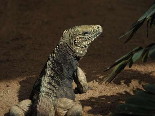 Animal Reptile Lizard Fauna Dragon Close Up Head