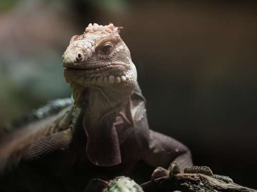 Animal Reptile Varan Lizard Fauna Dragon Close Up