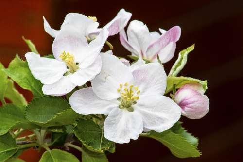 Apple Apple Tree Flower Flowers Wood Trees