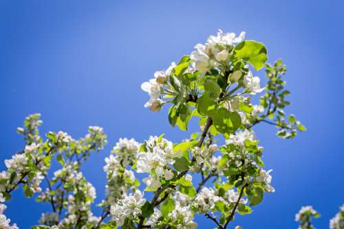 Apple Blossom Spring Nature Tree Beautifully