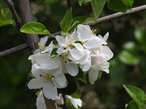 Apple Blossom Blossom Bloom Apple Tree Branch