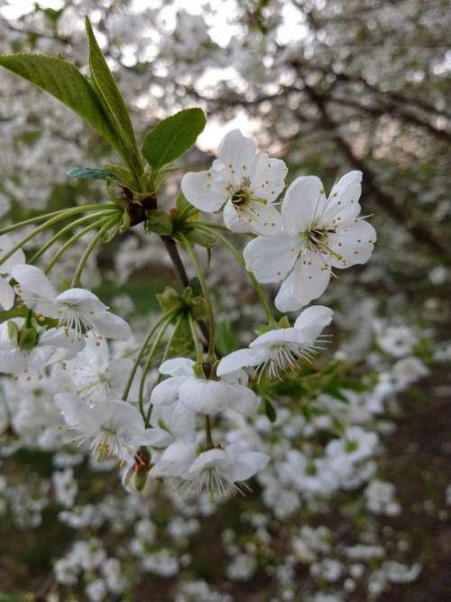 April Flowers Flowering Cherry Spring Tree White