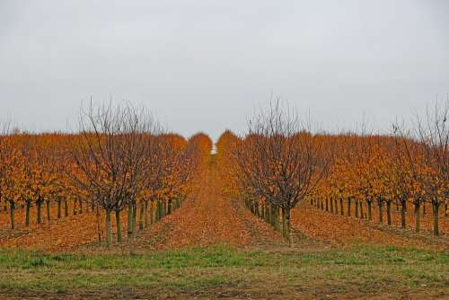 Autumn Fruit Trees Nature Harvested Leaves Colored